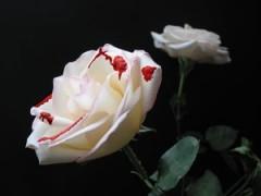 rosa bianca macchiata di sangue-le tazzine di yoko