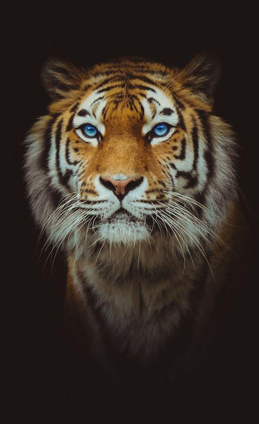 tigre-la-tazzine-di-yoko